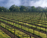 Agricultural landscape of vineyards in early spring as fog rises in the background. Napa Valley, California.