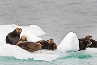 Sea Otters hauled out on an ice berg in Barry Arm, Prince William Sound, Alaska