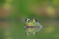 Bullfrog (Rana catesbeiana), adult in lake, Refugio, Coastel Bend, Texas, USA