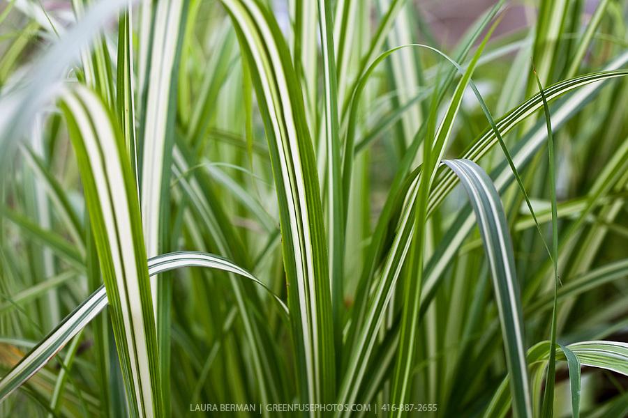 Miscanthus sinensis var condensatus 39 cabaret 39 cabaret for Tall green ornamental grass