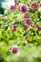 Detail of a branch of the Beautiful English rose 'Constance Spry' (Rosa) in full bloom