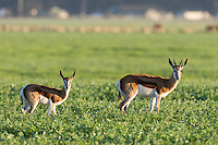 Domestic Springbok in farm fields, Bredasdorp, Overberg, Western Cape, South Africa,