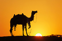 Camel at sunset, Pushkar Fair, India.