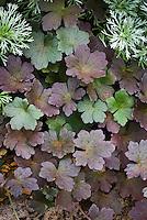 Geranium 'Dusky Rose' dark black foliage purple with Artemisia Silvermound