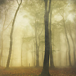 Misty beech tree forest in spring.<br />