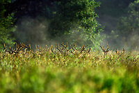 Roosevelt elk bulls in velvet, Summer, Pacific N.W.   (Julia Butler Hansen National Wildlife Refuge, WA.)