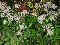 Gewöhnlicher Giersch, Geißfuß, Aegopodium podagraria, Bishop´s Weed, Ground Elder
