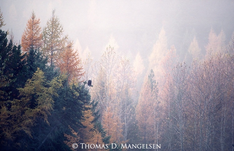 Bald eagle perches in a spruce tree surveying its environment on a misty morning in Montana.