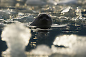 Ringed Seal (Phoca hispida) in Svalbard