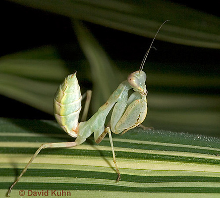 "0718-07pp  Wide armed mantis - Cilnia humeralis ""Nymph"" © David Kuhn/Dwight Kuhn Photography"