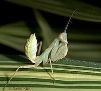 "0718-07pp  Wide armed mantis - Cilnia humeralis ""Nymph"" © David Kuhn/Dwight Kuhn Photography"