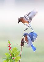 Bouncing Bluebirds