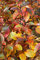 Lagerstroemia 'Berry Dazzle' = GAMAD VI  fall foliage  and berries
