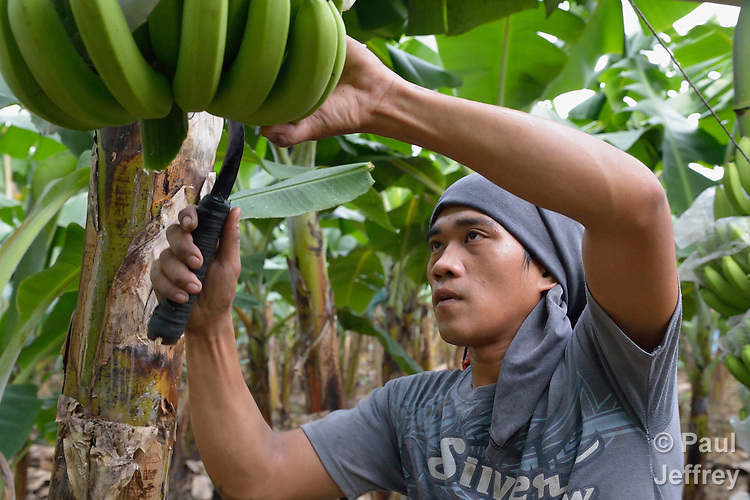A worker harvests bananas for export on a corporate farm in New Bataan, Compostela Valley, on Mindanao Island in the southern Philippines.