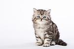 20161020 British Shorthair Longhair Kittens