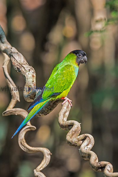 Nanday Parakeet (Aratinga nenday), Pantanal, Brazil