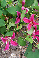 Clematis texensis Princess Diana
