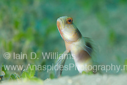Gobies & Blennies