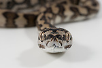 Baby Coastal Carpet Python (Morelia spilota mcdowelli) on white background