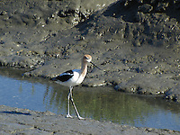 Adult Avocet at the Hayward Marsh near the east end of the San Mateo Bridge.