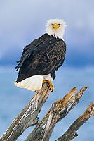 Bald eagle perched on driftwood along the shores of Kachemak bay, Homer, Alaska.