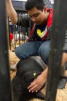 FFA student Michael Soule, 16, from White River High School soothes his pig, Wilbur prior to showing him at the auction. He got Wilbur six months ago when he was around 30-40 pounds. Soule built him a pen and spent about an hour a day with him. He lives with his mother their farm raising goats, chickens, rabbits, and alpacas. Wilbur is his first pig. &quot;Its kind of sad.&quot; says Soule who plans to participate in FFA again next year. He figures Wilbur will fetch around $250 at the livestock auction. <br /> Students in the FFA and 4H programs participate in the auction of livestock including steers, lambs and hogs in the Northwest Junior Livestock Show at the Washington State Spring Fair in Puyallup, Wash. on April 19, 2015.  (photo &copy; Karen Ducey Photography)