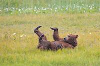 Coastal brown bear rolls in a grassy meadow with its feet sticking in the air. Katmai National Park, Alaska Peninsula, southwest Alaska.