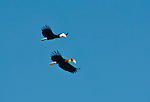 A male-female pair of Bythe's hornbills cruises a cliff face in triton Bay, Papua