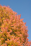 Washington DC; USA: Fall color in Washington DC, produced by the sugar maple..Photo copyright Lee Foster Photo # 31-washdc75509
