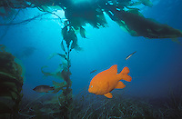 A Garabaldi swim below the canopy of a Kelp Forest. Channel Islands National Marine Sanctuary, CA