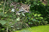 Margay Cat (Leopardus wiedi) adult alert at waterhole.