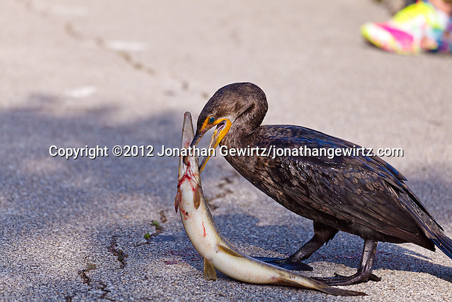 A Double-crested Cormorant (Phalacrocorax auritus) eats a big fish. Anhinga Trail, Everglades National Park, Florida.