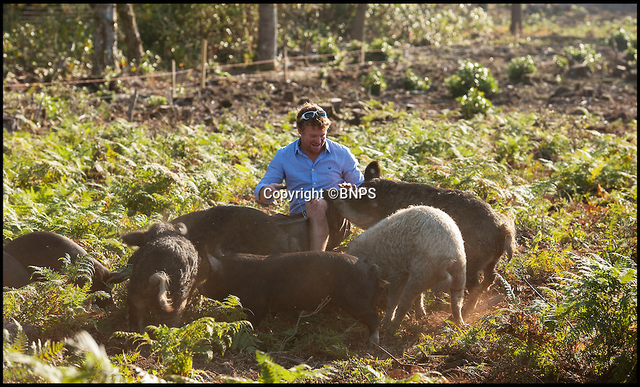 BNPS.co.uk (01202 558833)<br /> Pic: PhilYeomans/BNPS<br /> <br /> James Warren leads out his army of hungry pigs...<br /> <br /> The RSPB has called in a crack-ling team of rare breed pigs to return woodland in Dorset to native heath - And the bonus is you can much on the unfortunate animals after they're work is done.<br /> <br /> RSPB project leader Mark Singleton has brought in an army of rugged Mangalitsa pigs to completely root through a pine forest scrub in south Dorset, and return it to the native heathland made famous by Thomas Hardy.<br /> <br /> Local butcher Jamie Warren owns the hardy Mangolista's, and after they've munched through the bracken, roots and rhizomes he can sell the tasty meat once they're work is done.<br /> <br /> The RSPB are trying to protect and enhance the precious heathland to protect the rare birdlife that inhabits the area.
