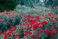 "International Rose Test Garden with the rose ""Happy Wanderer"" in front, Portland, Oregon"