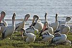 Cairns, Queensland, Australia; Australian Pelican (Pelecanus corspicillatus) birds on the grass at the edge of the tidal mud flats , © Matthew Meier, matthewmeierphoto.com All Rights Reserved