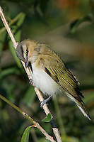 590690007 a red-eyed vireo vireo olivaceous a migratrory sonbgird perches on a tree limb on south padre island texas