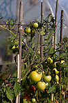 Vine tomatoes growing in an allotment pollytunnel.