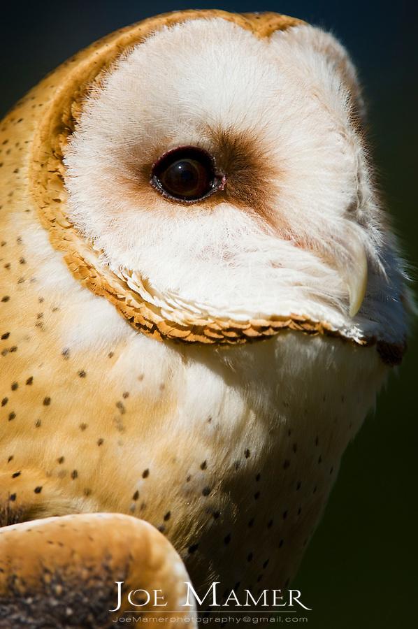 Barn owl (Tyto alba) portrait. Captive bird from the Minnesota Raptor Center.