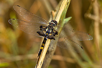 388520006 a wild male black saddlebags dragonfly tramea lacerata perches on a dead stick along a canal near jean blanc road near bishop inyo county california united states