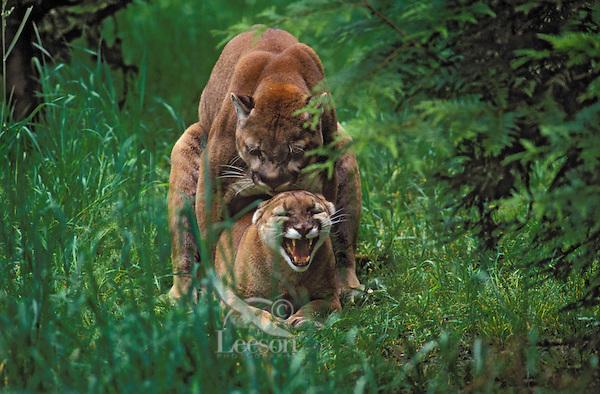 Cougar/Mountain Lion/Puma..Male and female mating..Pacific Coast, Washington. USA..(Felis concolor)