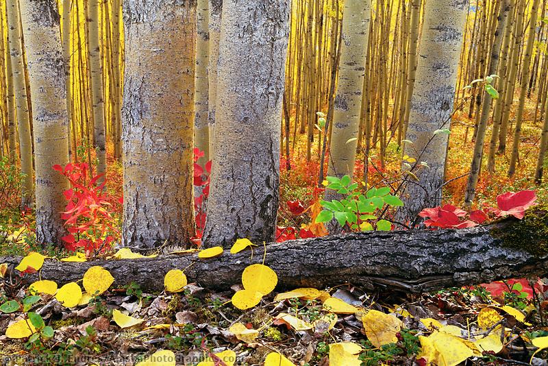 Boreal forest floor, highbush cranberries, aspen trees, golden aspen leaves, Fairbanks, Alaska.