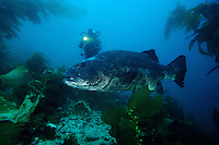Giant seabass, Stereolepis gigas, in a kelp forest. This species was almost hunted to extinction by overfishing. It can grow to 7 feet and weigh over 500 pounds, California