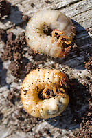 Insect pest vine weevil grub, garden problem, larvae eats roots and plants, closeup macro of bug