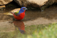 Male Painted Buntings are the most spectacularly colored of all North American songbirds.
