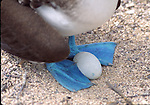 blue-footed booby with egg