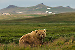 Brown bear, Katmain National Park, Alaska