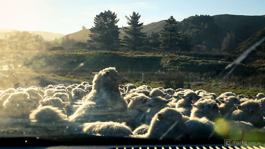 You will usually come across stock on the road at least once when driving on the roads of the Wairarapa. This time round it was a mob of sheep.