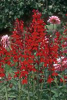Lobelia cardinalis Compliment Scarlet Cardinal Flower, nativar hybrid