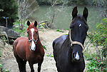 Two horses owed by a local man during the morning hours in Wendover, Ky., on Wednesday, October, 9, 2013. Photo by Rachel Walker