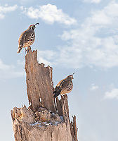 Male and Female Gambel's Quail perched on dead stump against blue sky